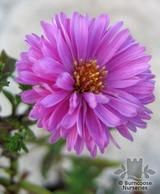 ASTER 'Patricia Ballard'   