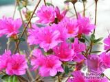 AZALEA - DECIDUOUS   