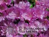 AZALEA - EVERGREEN 'Geisha Purple'