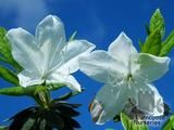 AZALEA - EVERGREEN ledifolia 'Alba'  