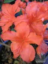 AZALEA - EVERGREEN 'Orange Beauty'