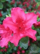 AZALEA - EVERGREEN 'Vuyk's Rosyred'