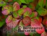BERBERIS thunbergii  