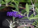 BUDDLEJA davidii 'Adonis Blue' 