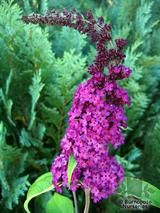 BUDDLEJA   