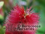 CALLISTEMON citrinus 'Red Cluster'