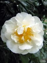 CAMELLIA 'Angel'  