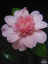 CAMELLIA 'Ballet Queen'  