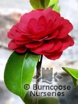 CAMELLIA 'Coquettii'  