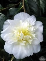 CAMELLIA 'Dear Jenny'  