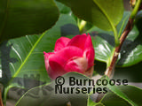 CAMELLIA 'Dona Herzilia de Freitas Magalhaes'  