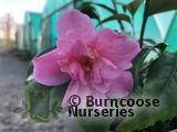 CAMELLIA 'Fragrant Pink'  