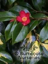 CAMELLIA japonica 'Variegata' 