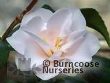 CAMELLIA 'Magnoliiflora'
