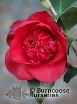 CAMELLIA 'Midnight'  