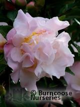 CAMELLIA 'Scentuous'  