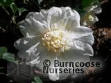 CAMELLIA 'Winter's Snowman'  
