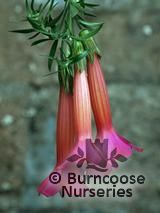CANTUA buxifolia  