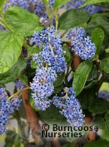 CEANOTHUS arboreus 'Trewithen Blue'  