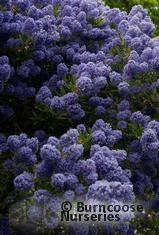 CEANOTHUS 'Blue Mound'