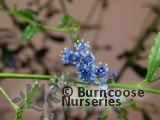 CEANOTHUS 'Cascade'  