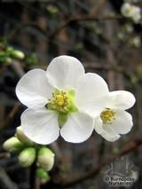 CHAENOMELES speciosa 'Nivalis' 
