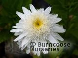 CHRYSANTHEMUM maximum 'Wirral Supreme'