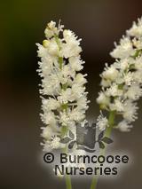 CIMICIFUGA simplex 'White Pearl'