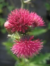 CIRSIUM   
