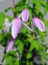 CLEMATIS alpina 'Jacequline du Pre' 