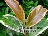 CLEYERA japonica 'Tricolor'