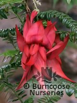 CLIANTHUS puniceus 'Kaka King'