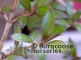 COPROSMA 'Black Cloud'