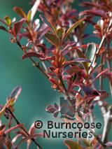 COPROSMA   