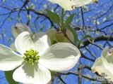 CORNUS florida  