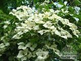 CORNUS kousa var chinensis 