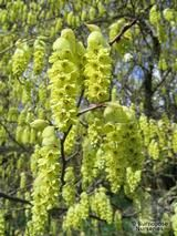 CORYLOPSIS willmottiae 'Spring Purple' 