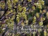 CORYLOPSIS willmottiae  