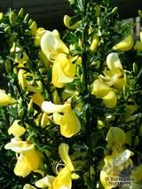 CYTISUS scoparius 'Golden Cascade'