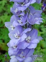 DELPHINIUM 'Cameliard'  