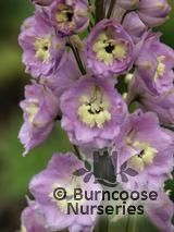 DELPHINIUM 'Pink River'  