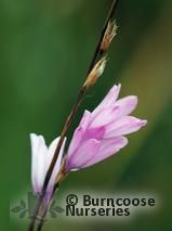 DIERAMA erectum  