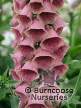 DIGITALIS x mertonensis  