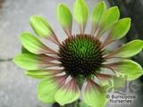 ECHINACEA purpurea 'Green Envy' 