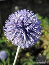 ECHINOPS bannaticus 'Veitch's Blue' 