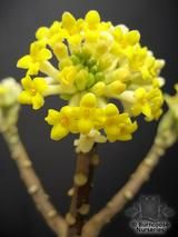 EDGEWORTHIA chrysantha  