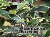 ELAEAGNUS pungens 'Variegata' 