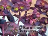 EUPHORBIA amygdaloides purpurea 