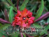 EUPHORBIA griffithii 'Fireglow' 