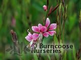 GAURA lindheimeri 'Siskyou Pink' 